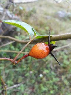 quả tầm xuân rừng khi chín có màu đỏ và nhiều gai