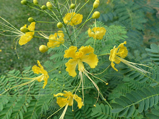 Caesalpinia pulcherrima - Petit flamboyant