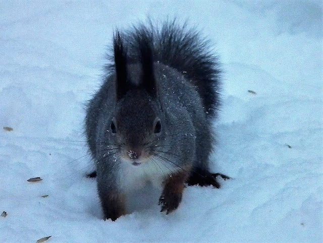 orava, talvi, rosvo