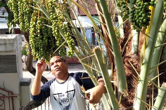 Viral Pohon Kurma Berbuah Lebat di Halaman Rumah Warga, Awalnya Dikira Pohon Salak