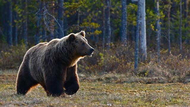 Italia: Sentencian a muerte a un oso que atacó a dos hombres en los Dolomitas y los activistas tratan de salvarlo