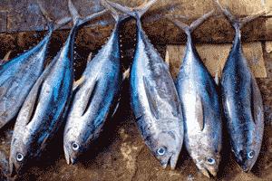 Atunes, típico ejemplo de pescado azul