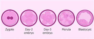 Divisão celular do ovo.