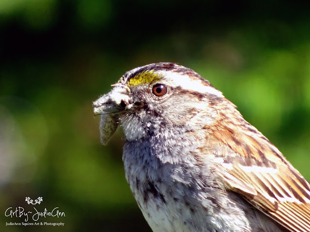White-throated Sparrow Finds A Morsel 11 Photos + Video