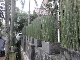 jual pohon bambu air murah,jual tanaman hias bambu air