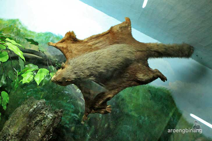 bajing terbang museum zoologi bogor