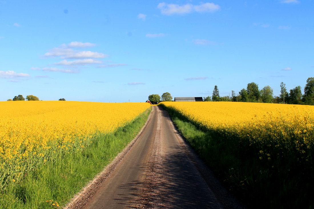 Campo di colza in fiore a Vä