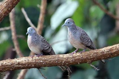 13 Fakta Menarik Burung Perkutut yang Harus Kamu Tahu