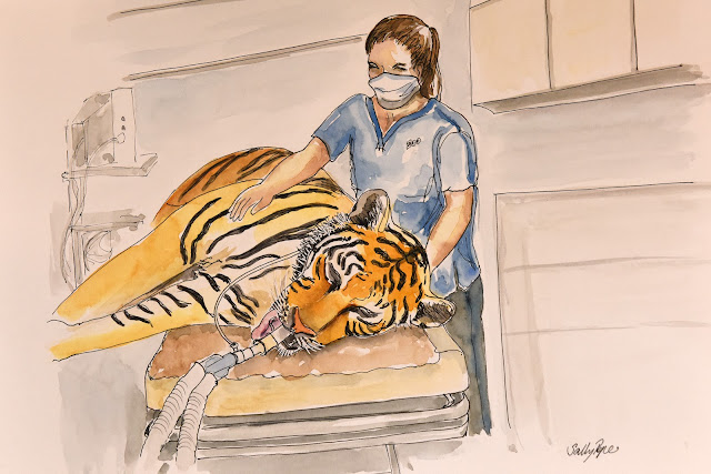 zoo vet, tiger anaesthetic, vet nurse, vet tech