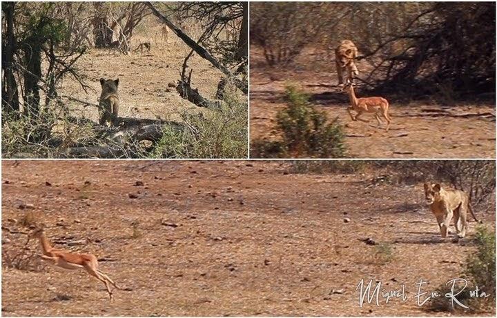 Leones cazando en Mazithi Dam, Kruger