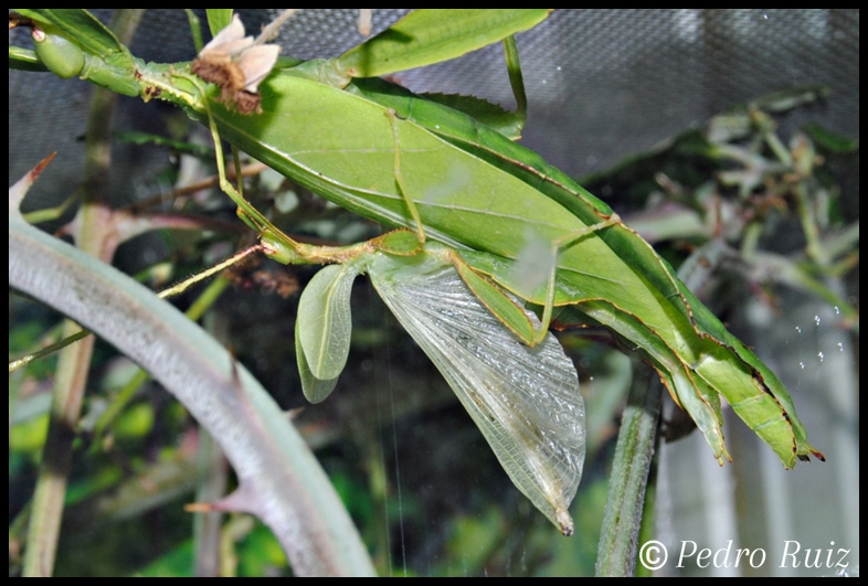 Detalle de las alas de un macho de Phyllium philippinicum