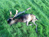 Fallow shot during the rut period
