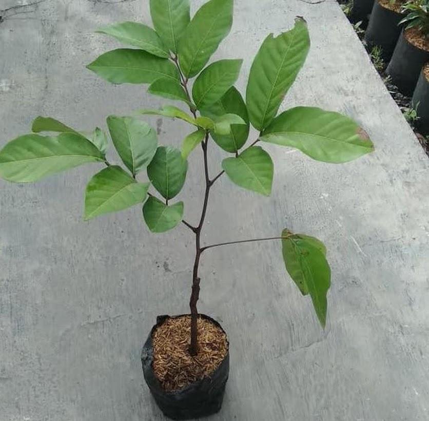 Bibit tanaman buah rambutan Zaenal mahang Tasikmalaya