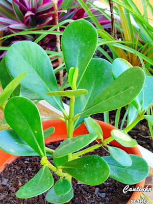 Cultivar e cuidar a Clúsia - Clusia fluminenses