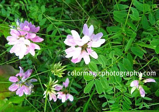 Crown Vetch plant-Securigera varia