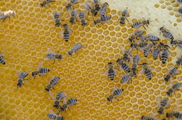 Сатна основа со пчели и незапечатен мед