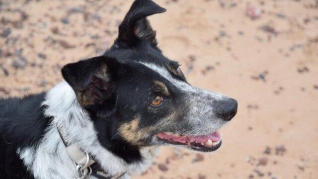 Regno Unito: cane pastore sordo impara lingua dei segni.