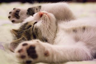 Cara Merawat Anak Kucing yang Baru Lahir Tanpa Induk