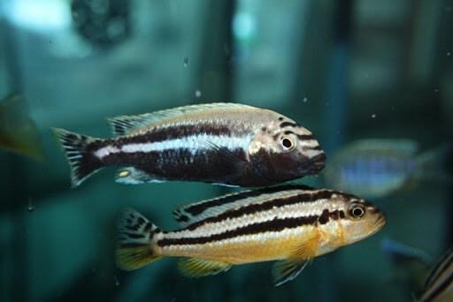 Mengenal Ikan Niasa dan Cara Budidaya yang Mudah