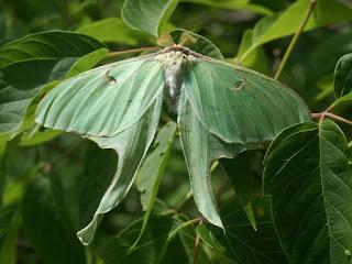 Papillon lune - Actias luna