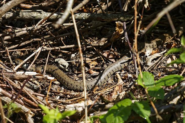 Ungiftige Schlange