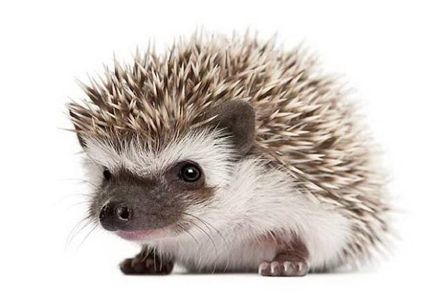 hedgehog pet