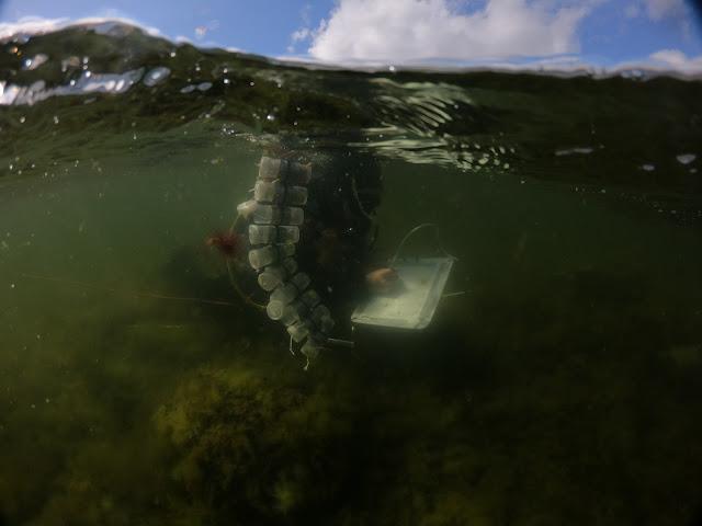 Sukeltaja ottaa levänäytteenottimeen näytettä aallon alla ja kirjoittaa kirjoituslevylle
