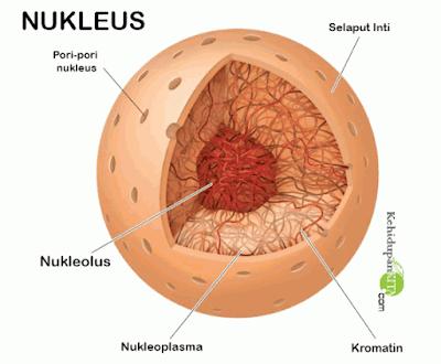 Bagian-bagian Nukleus