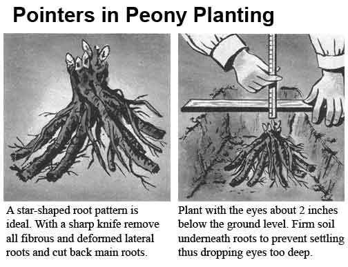 Image result for planting peonies