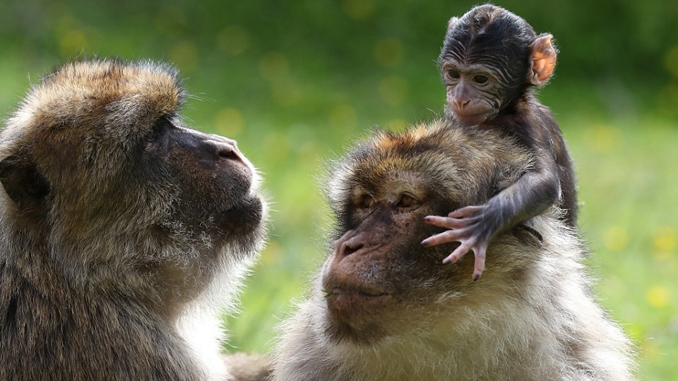 A primate baby boom celebrated at UK zoo