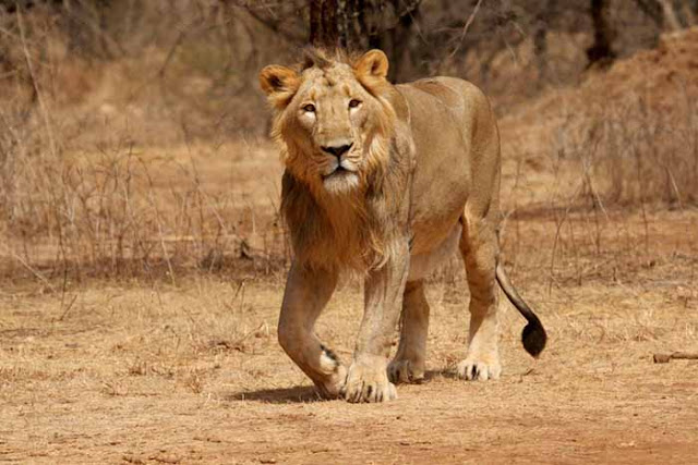 Sasan Gir National Park & Wildlife Sanctuary, Free roaming lion in gujarat