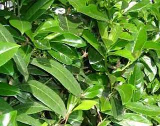 Δαφνοκέρασος Prunus laurocerasus