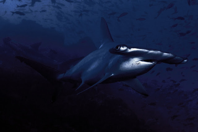 Hammerhead Shark Photo