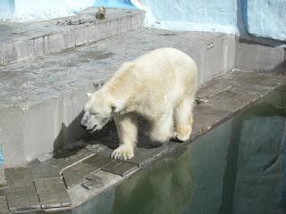 polar bear russia novosibirsk zoo