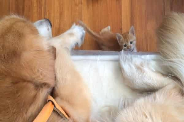 Rescue Kitty Locates Buddy With Loving Golden Retriever
