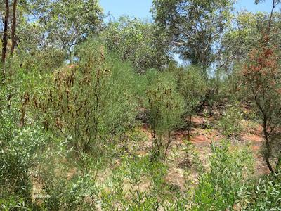 bush, Alice Springs