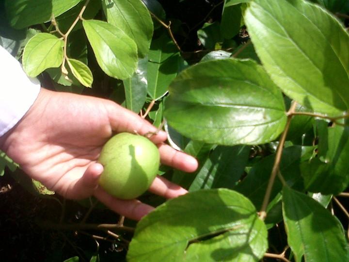 indian plum