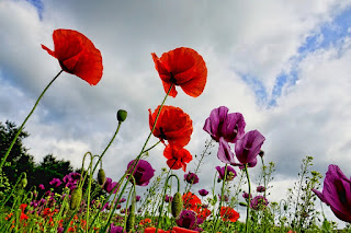 Multi-colored poppies on long stalks with a cloudy sky in the background. Photo by Schwoaze on Pixabay.