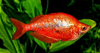 Ikan rainbow air tawar