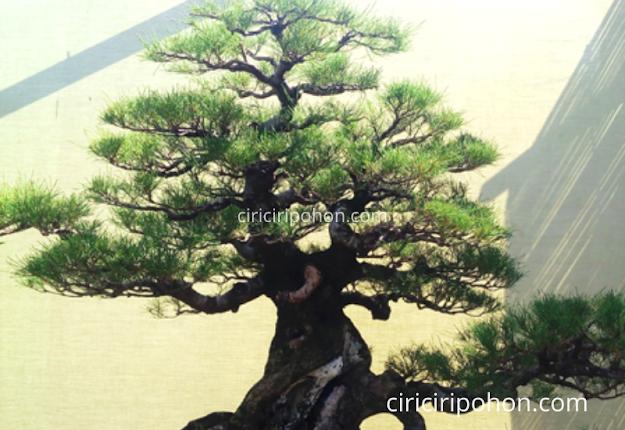 Ciri Ciri Pohon Bonsai Cemara Udang