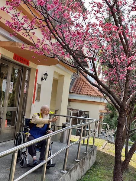 彰化榮家櫻花粉嫩滿開 住民享受春日愜意時光