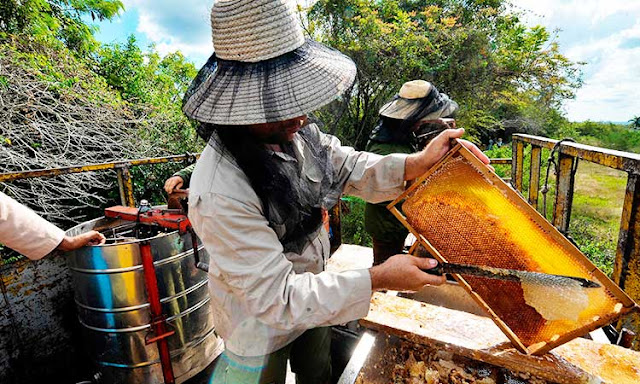 Sản xuất mật ong hữu cơ tinh khiết ở Cuba