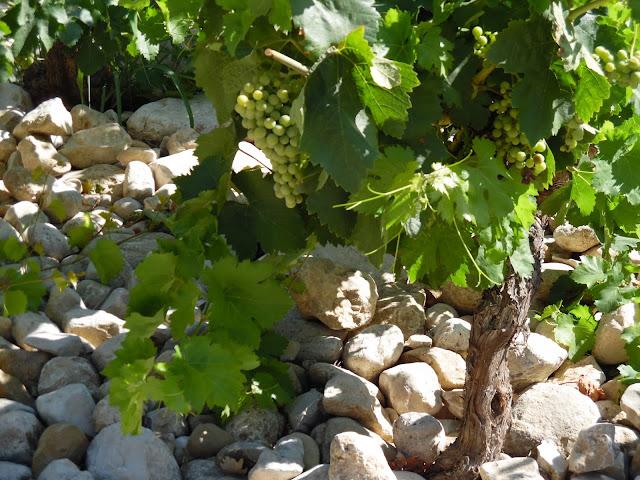 krzew winorośli w Prowansji