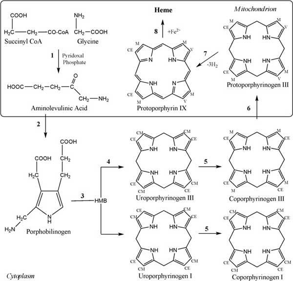 Heme biosynthetic pathway