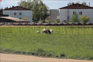 Отара овец в Жуковщине