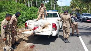 Hari Ini Razia Hewan Ternak, Tim Satgas Datebi Morotai Berhasil Menembak 2 Ekor Sapi