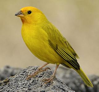 Suara burung Saffron finch