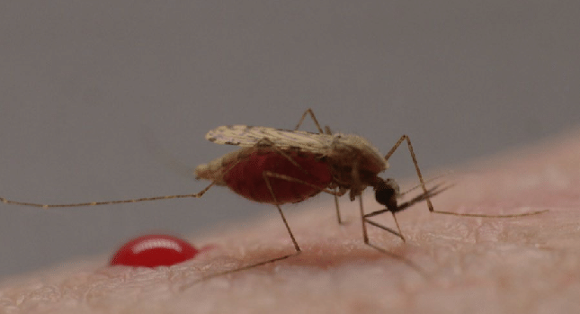 Anopheles mosquito taking a human blood meal