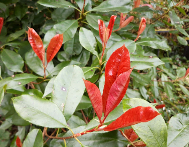 Image shows bright red new leaves against a background of older green leaves