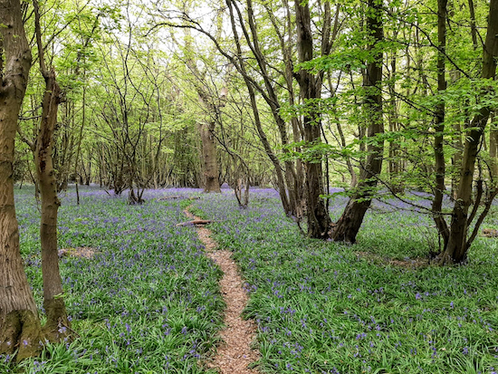 Bluebells in the woodland S of Hawkswick Lodge Fruit Farm